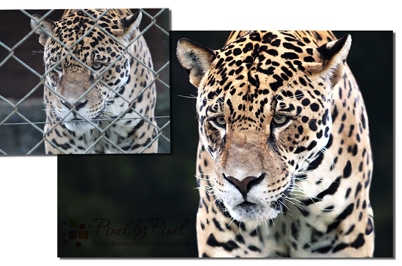 Image retouching of caged leopard by Carol Heath, Pixel By Pixel, Melbourne